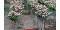MINI TREE ROSES